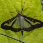 Grasmot - Buxusmot - Glyphodes perspectalis