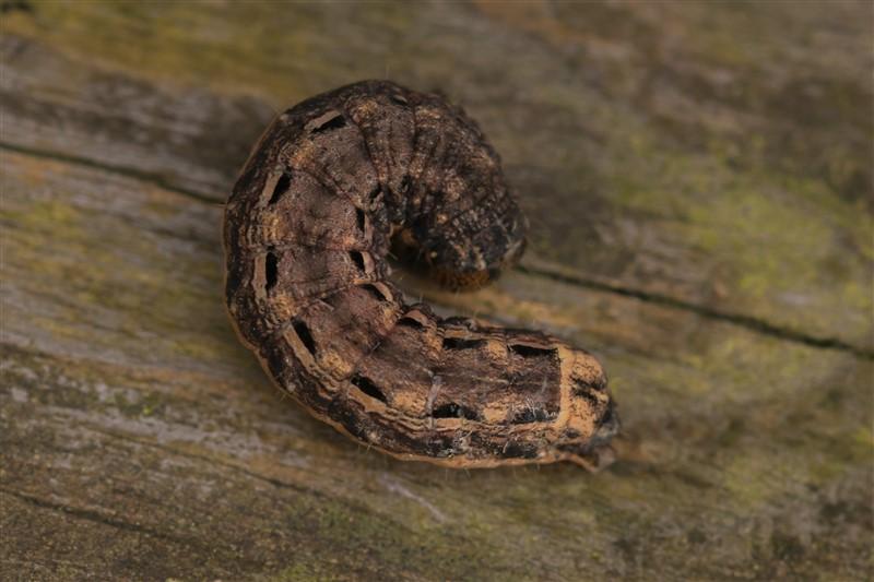 Huismoeder of Hooivlinder -Noctua pronuba - rups