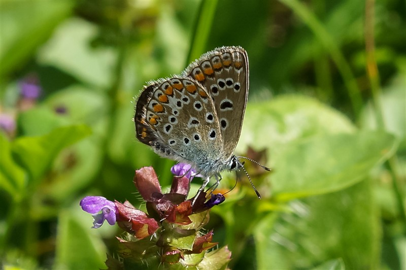 Icarusblauwtje - f. boalensis