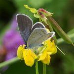 Lycaenidae - Staartblauwtje - Cupido argiades