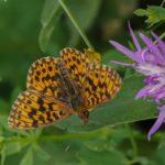 Paarse Parelmoervlinder of Akkerparelmoervlinder -Boloria dia