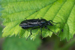 Rouwvlieg -Dilophus febrillis