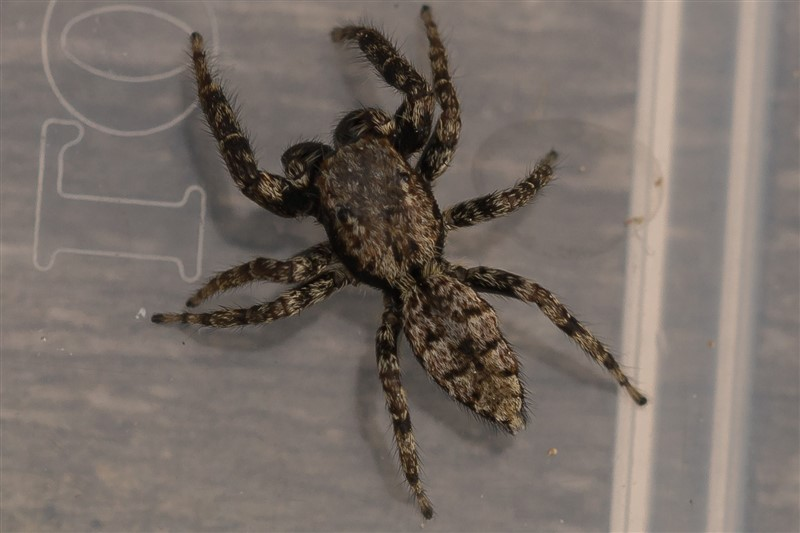 Springspinnen - Schorsmarpissa - Marpissa muscosa