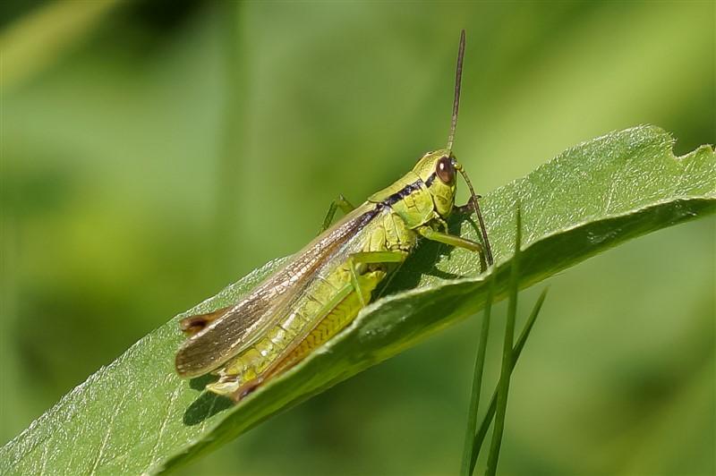 Zompsprinkhaan - Pseudochorthippus montanus