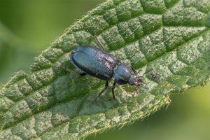 Blauw Vliegend Hert - Platycerus caraboides