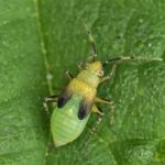Brandnetelwants nimf - Liocoris tripustulatus