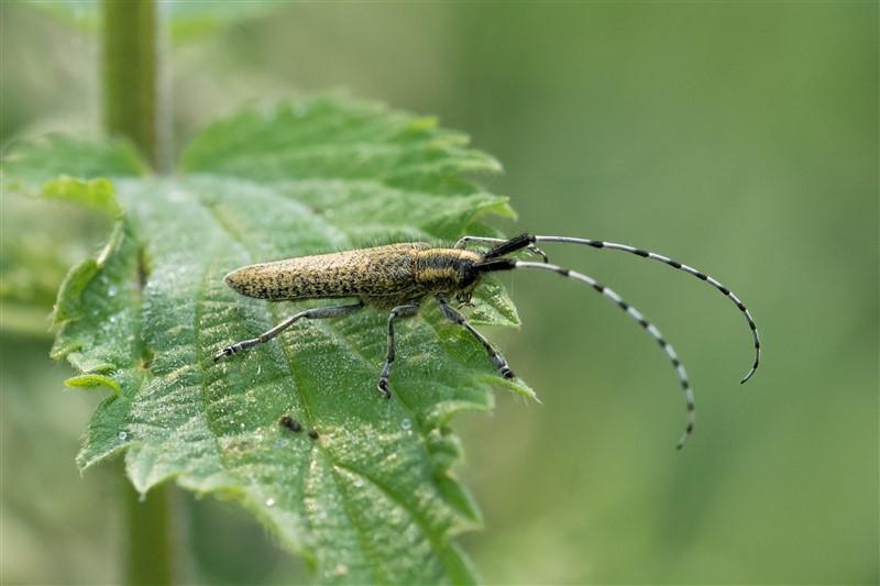 Distelbok - Agapanthia villosoviridescens