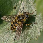 Doodskopzweefvlieg of Doodshoofdzweefvlieg - Myathropa florea