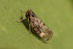 Glasvleugelcicade - Tachycixius pilosus