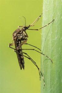 Grote steekmug -Culicidae sp