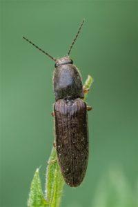 Kniptook -Stenagostus rhombeus