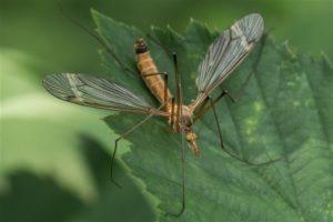 Koollangpootmug -Tipula oleracea