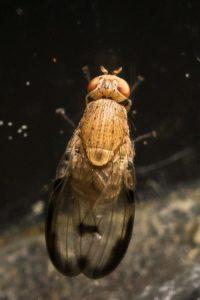 Lauxaniidae - Minettia inusta