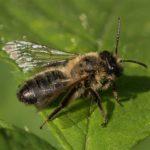 Meidoornzandbij - Andrena scotica
