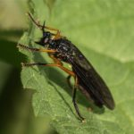 Zwartvlerkbladjager-Dioctria oelandica
