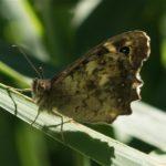Bont Zandoogje - Pararge tircis