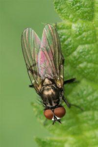 Echte Vliegen - Eudasyphora cyanella