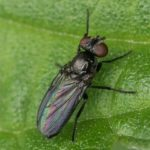 Echte Vliegen - Hydrotaea ignava