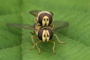 Gele KommTerrasjeskommazweefvlieg - Eupeodes corollaeazweefvliegen