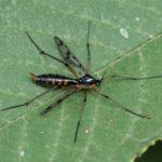 Glansmuggen - Ptychoptera albimana - vrouw