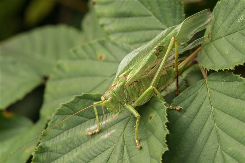 Grote Groene Sabelsprinkhaan -Tettigonia viridissima