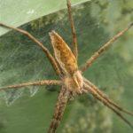 Kraamwebspin-Pisaura-mirabilis
