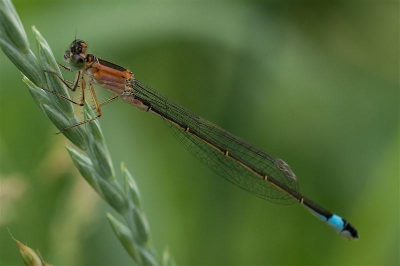 Lantaarntje -Ischnura elegans - vrouwtje