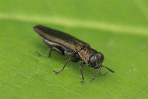 Prachtkever - Agrilus convexicollis