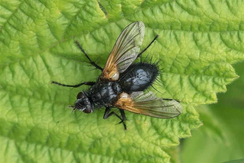 Sluipvlieg -Zophomyia temula