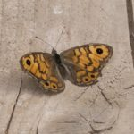 Argusvlinder -Lasiommata megera