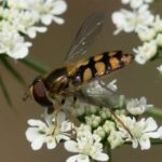 Gele Kommazwever - Eupeodes latifasciatus
