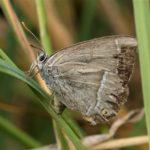 Lycaenidae - Eikenpage - Favonius quercus