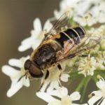 Onvoorspelbare Bijvlieg - Eristalis similis