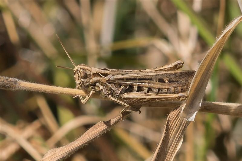 Ratelaar - Glyptobothrus biguttulus