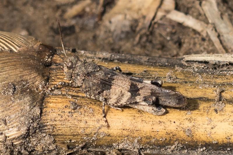 Blauwvleugelsprinkhaan - Oedipoda caerulescens