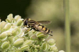 Moeraspendelvlieg - Helophilus hybridus