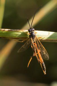 Gewone sluipwespen - Ichneumonidae spec