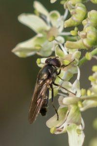 Heidegitje - Cheilosia longula