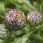 Hoefbladboorvlieg - Acidia cognata