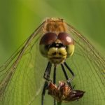 Korenbouten - Kempense Heidelibel - Sympetrum depressiusculum