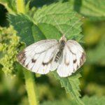Scheefbloemwitje - Pieris mannii