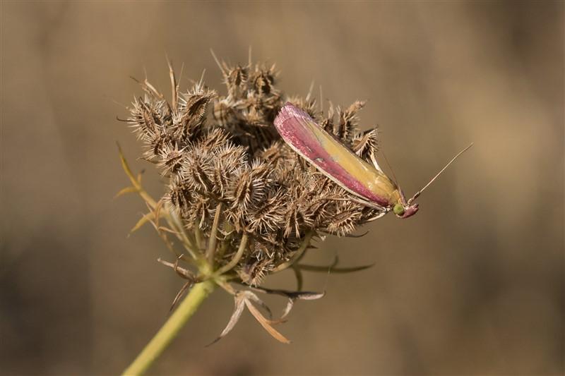 Snuitmotten - Prachtmot - Oncocera semirubella