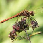 Steenrode Heidelibel - Sympetrum vulgatum