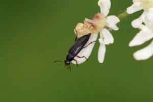 Bloemspartelkever - Anaspis frontalis