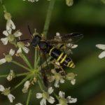 Echte Bladwesp - Tenthredo vespa