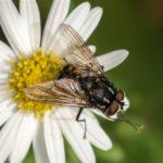 Echte Vliegen - Graphomya maculata