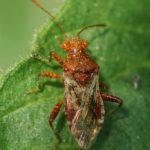 Geblokte Glasvleugelwants - Rhopalus subrufus