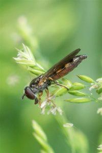 Gewoon Platvoetje - Platycheirus clypeatus