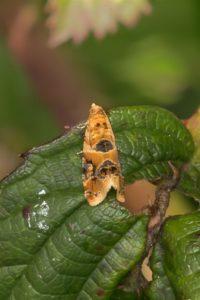 Harlekijnbladroller - Lobesia reliquana