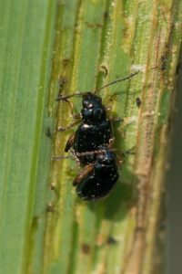Lisaardvlo - Aphthona nonstriata